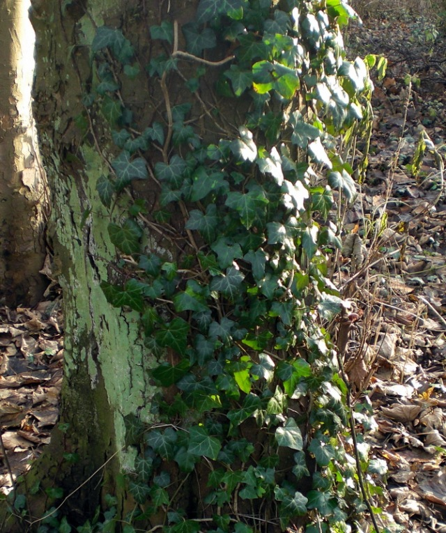 Ivy on treetrunk