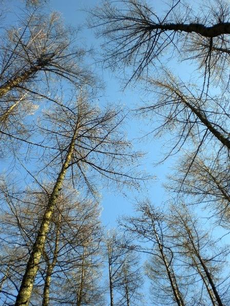 Scot's Pine - Devilla Forest, Fife