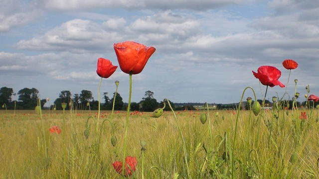 The Poppies are in The Field I