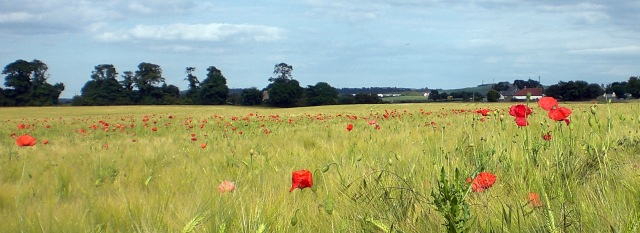 The Poppies are in the Field VII