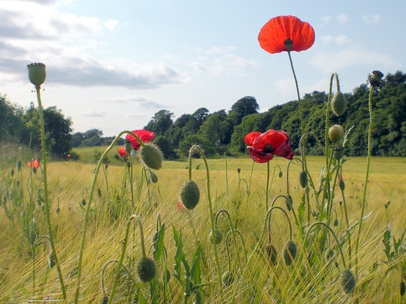 The Poppies are in the Field III