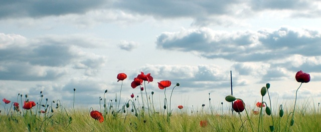 The Poppies are in the Field IV