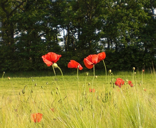 The Poppies are in the Field II
