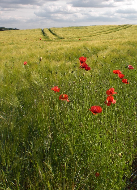 The Poppies are in the Field V