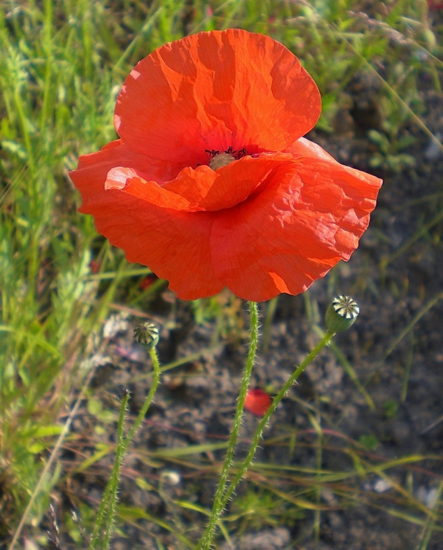 The Poppies are in the Field VI