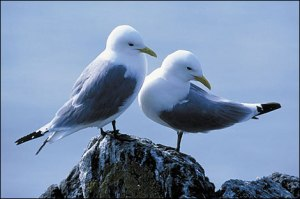 kittiwakes_on_rock_470x312