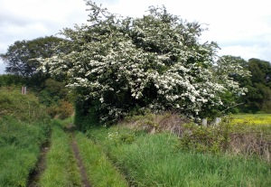 Beyond the Hawthorn